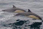 Dolphin Diets Suggest Extreme Changes in the Ocean May Shorten Food Chains