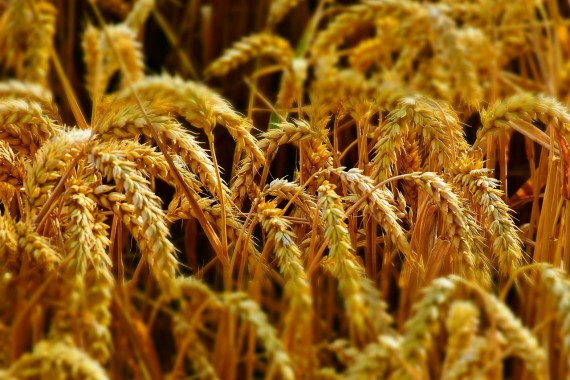 Resistance to antifungal drugs could lead to disease and global food shortages